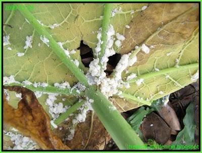 ants with mealy bugs papaya malaysia