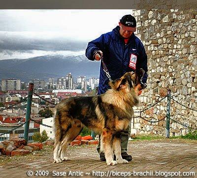 Sarplaninec (aka Sarplaninac) - Macedonian shepherd dog