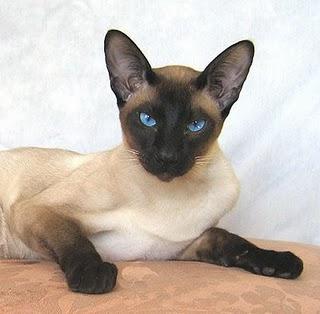 Kucing Siamese berasal dari negara Siam atau yang diken