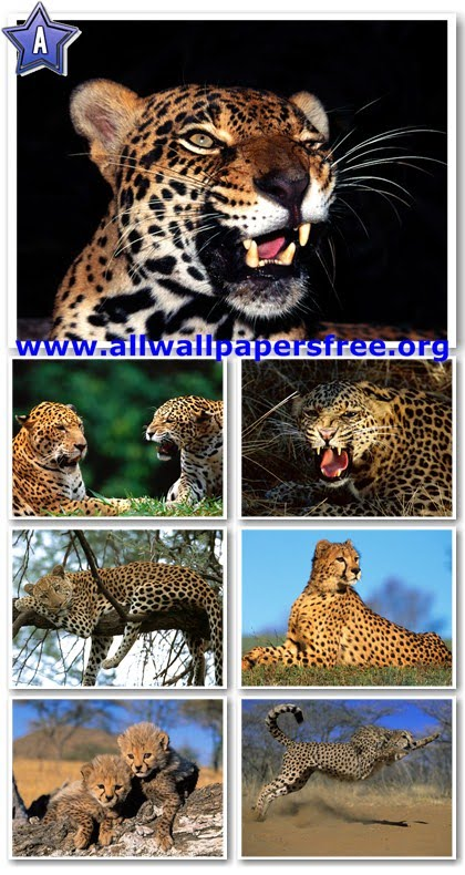 90 Beautiful Leopards Wallpapers 1600 X 1200