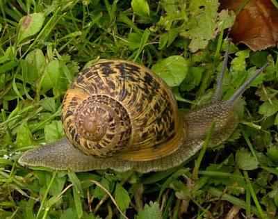 Bios phylum mollusca for Caracol de jardin