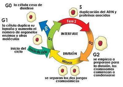 http://2.bp.blogspot.com/_EdiSPJX1jg8/ShMlzzg1xeI/AAAAAAAABvU/rSsWPgZA07s/s400/Ciclo+celular.JPG