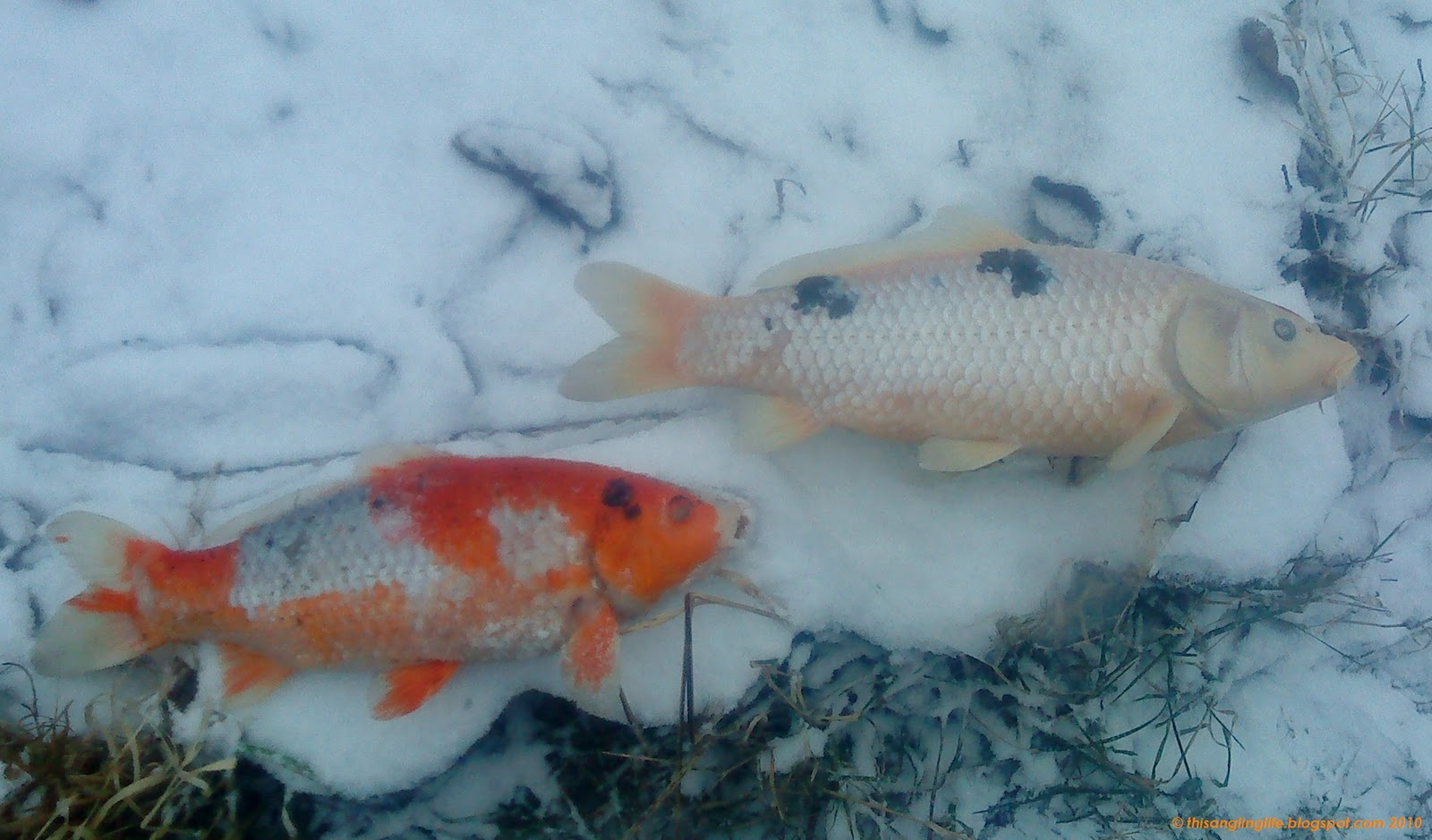 This angling life in the snow for Premade koi ponds