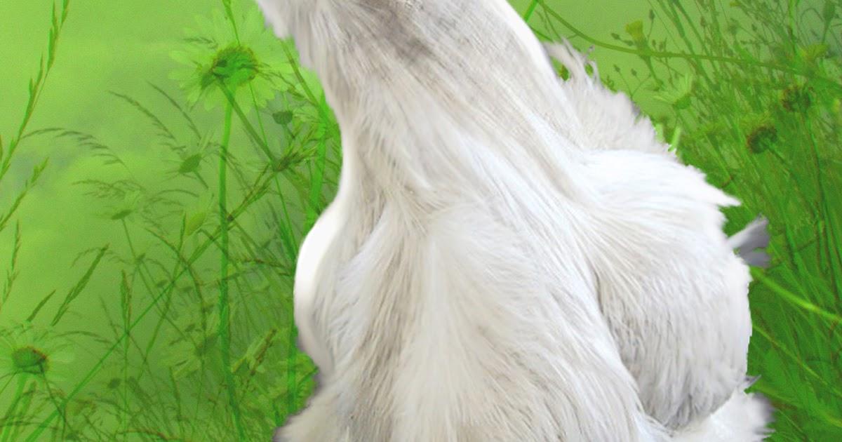 poule soie timide