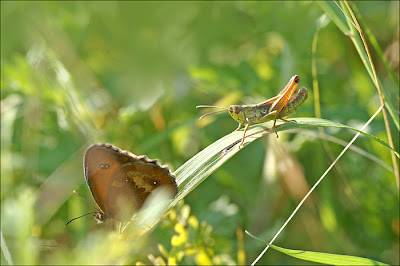 papillon et criquet