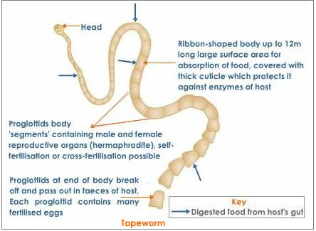 Dog tapeworm anatomy