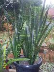 Sansevieria Black Brazillian
