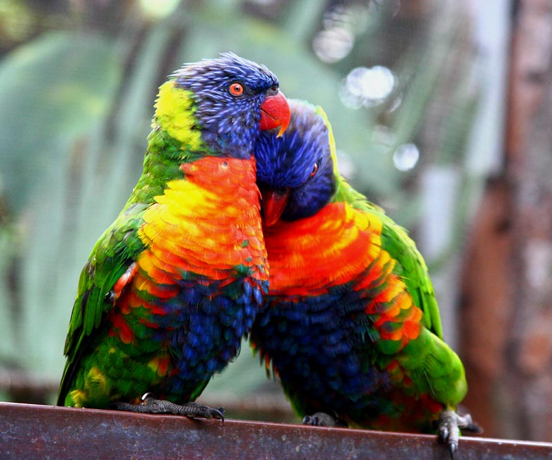 wallpapers of love birds. Cute Love Birds Kissing