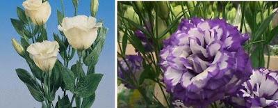 tohumdan lisyantus çiçeği yetiştirme