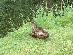 Mother Duck on my Pond
