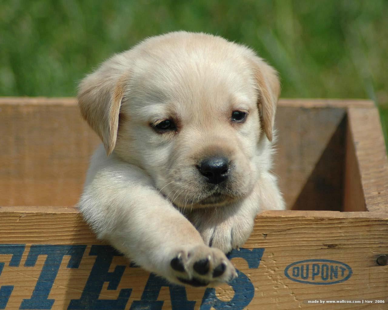 http://2.bp.blogspot.com/_Eq0z9sFgDsQ/TCy8D_m8-SI/AAAAAAAAAKs/AeyJYVI1KTI/s1600/labrador_retriever_puppy_2.jpg