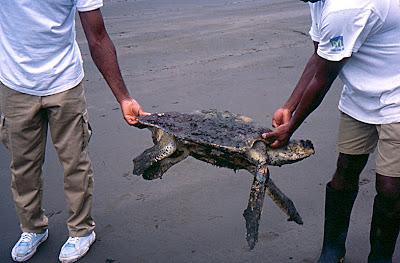 BP acusada de matar tortugas en peligro de extinción durante sus quemas de combustible