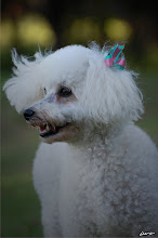 Bia (Poodle) - 9 anos