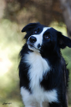 Barbera (Border Collie) - 2 anos