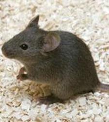 external image ratones-clonados.jpg