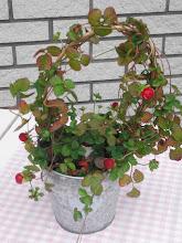 Smultronplanta i zinkhink