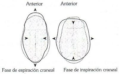 Fases de flexión-extensión craneal