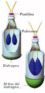 El Diafragma - El mecanismo Respiratorio