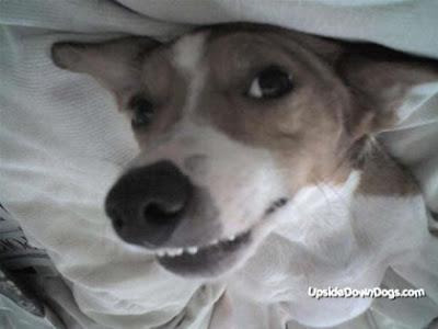 [Image: charlie-jack-russel-terrier-dog-420x315.jpg]