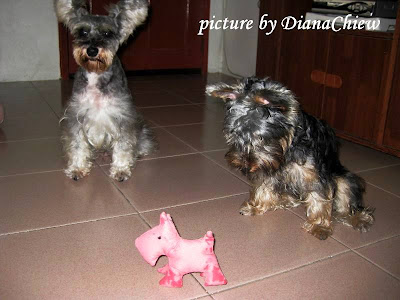 Miniature-Schnauzer Silky-Terrier Scotty-Dog