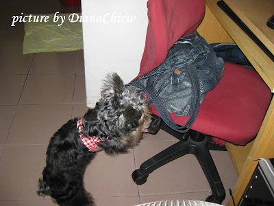 Silky-Terrier