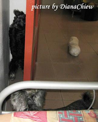 Silky-Terrier Miniature-Schnauzer