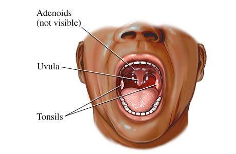اللهاة ، لهاة الحلق Uvula