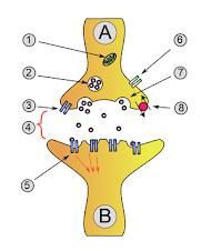 Las sinapsis