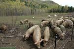 gripe dos porcos