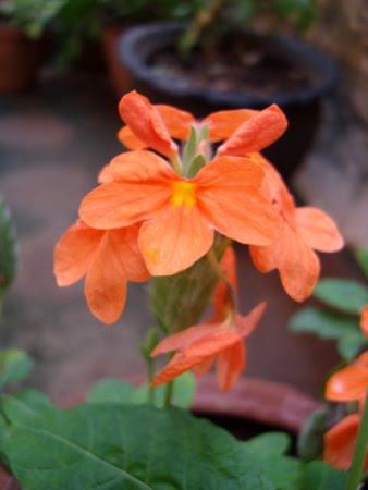 [ff-orange-kanakambaram]