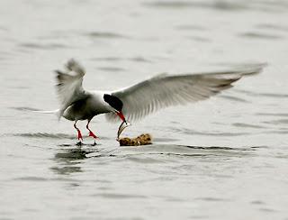 Common Tern feeding young