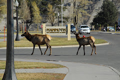 Elk Roam in Mammoth Village