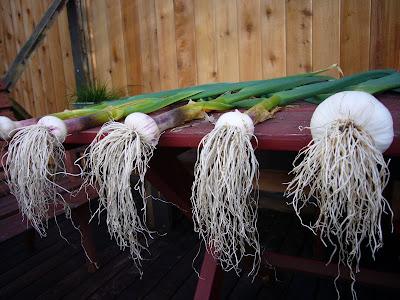 Sylvia's fresh garlic