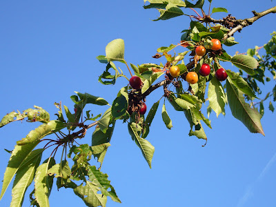 our own cherry tree