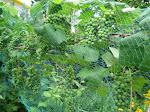 Pfälzer Trauben in Mamas südhessischem Gartenparadies