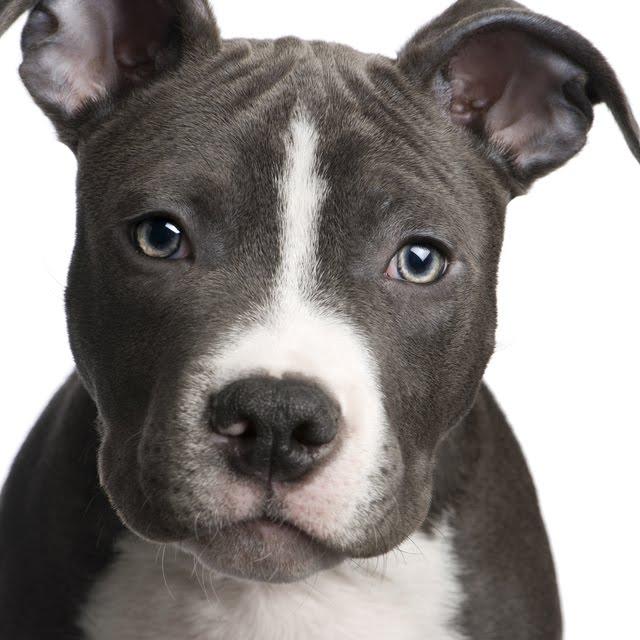 Blog contra a violencia de animais: PITBULL,ROTTWEILER E DOBERMAN ...