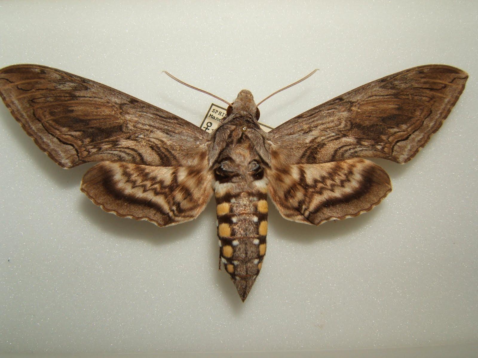 Hornworm Moth Life Cycle To control tomato hornworm