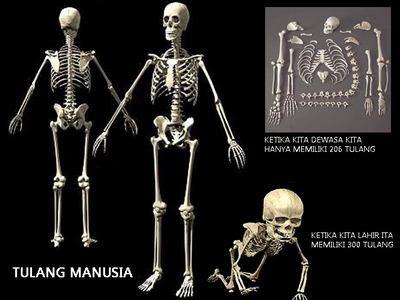 Tulang Manusia