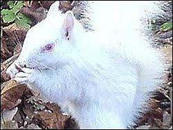 Tupai Albino