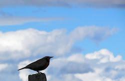 Loica y cielo magallánico