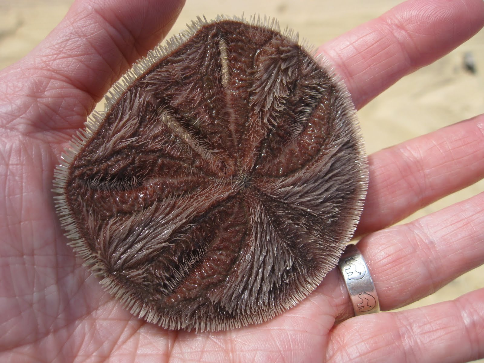 How Much Is a Sand Dollar Worth? | Wonderopolis