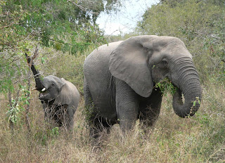 Africa's big mammal populations drop 59% in 40 years!