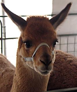 llama Head