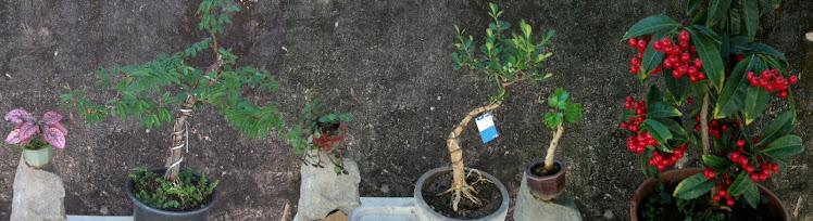Caliandra rosa/ Buxinho/ Ardízia
