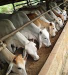 Harga Lembu Brahman Semasa