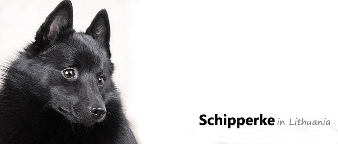 Schipperke in Lithuania