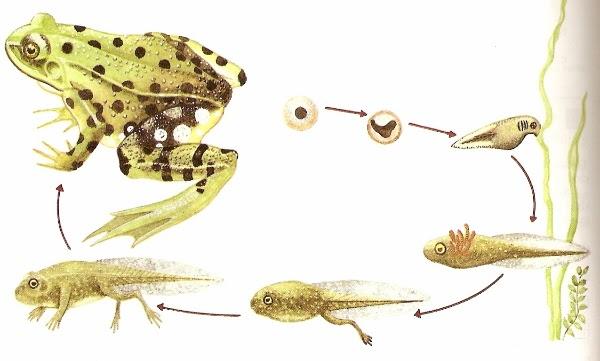 Animales vertebrados anfibios - Como se aparean los elefantes ...