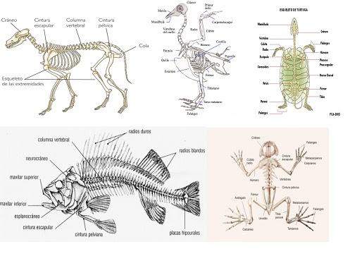 Sistema Óseo Investiciencias com - imagenes de esqueletos de animales vertebrados