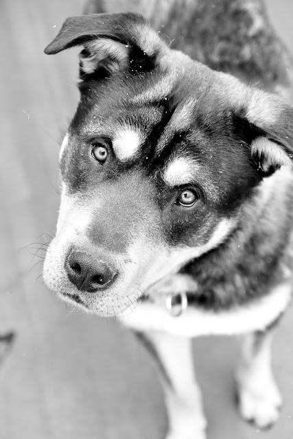 b%26w+rotti Shelter Pups