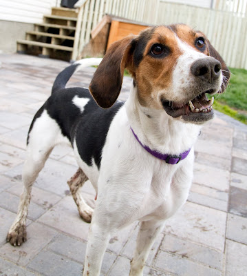 >Lily {Hound cross} - ADOPTED